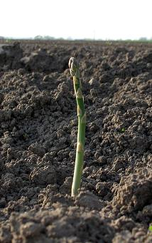 Den första sparrisen tittade upp våren 2008